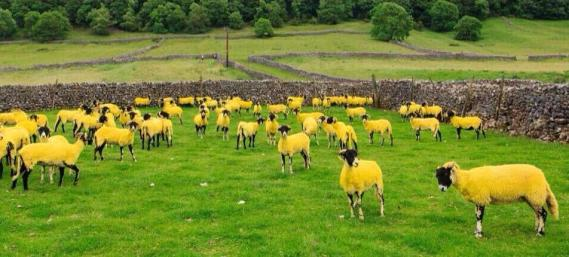 Tour de France sheep